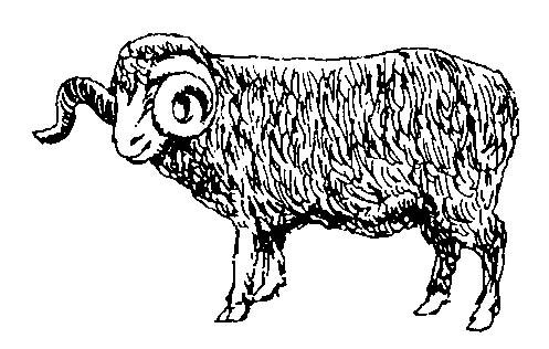 Mouton Mérinos 2