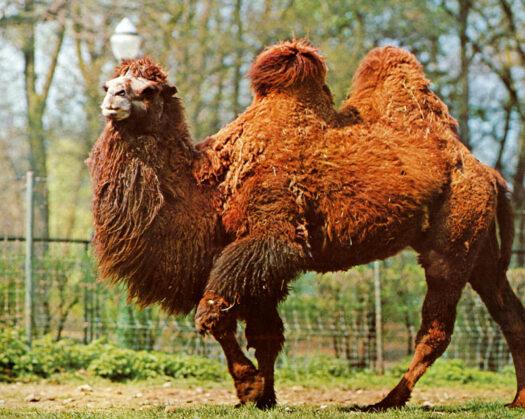 Guide des matières : le chameau