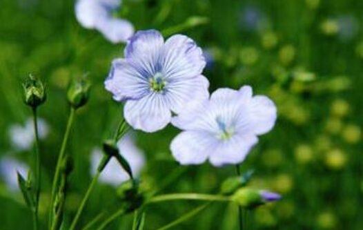 Guide des matières : Fleurs de lin
