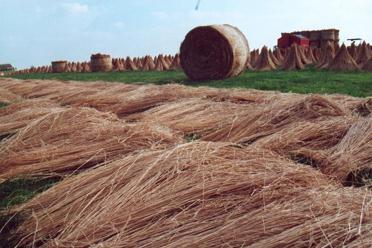 Culture du lin et sa récolte